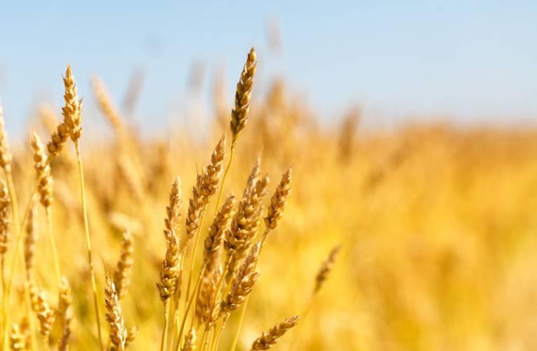 Ceny skupu zboża: pszenicy, żyta, kukurydzy – od czego zależą?
